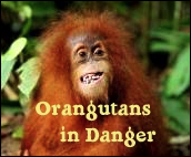 Orangutans in Danger